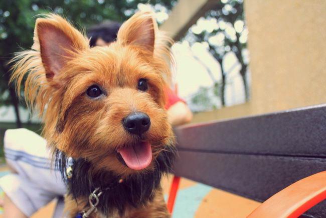 Австралійський тер'єр (Australian Terrier)