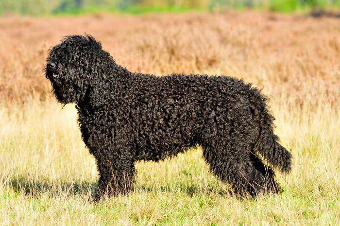 Барбет (Barbet, French Water Dog)