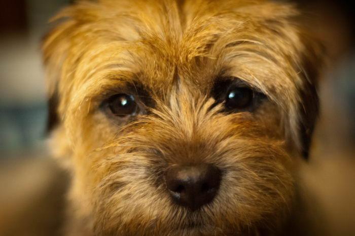 Бордер тер'єр (Border Terrier)