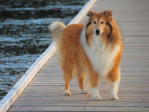 http://natureworld.ru/breeds_dog/collie_rough_02.jpg