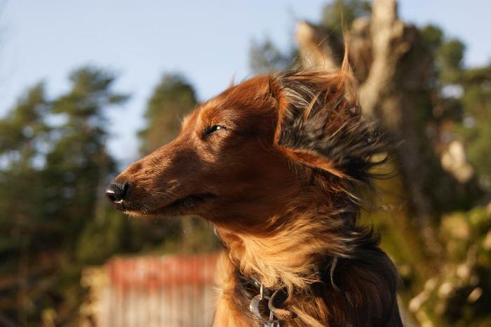 Такса кроличья (Rabbit Dachshund) - Животные и природа