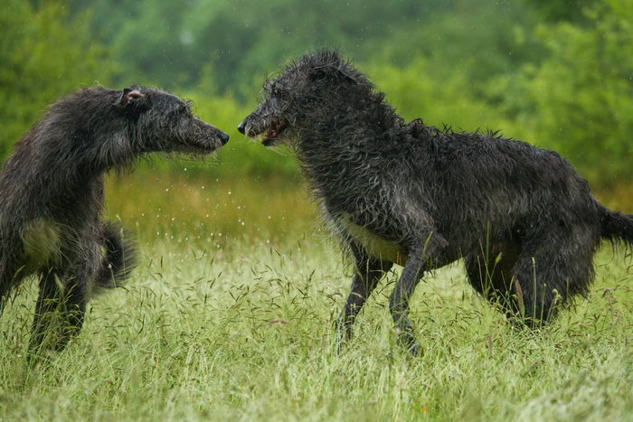 Дирхаунд (Deerhound)