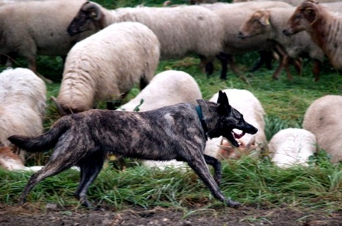 Собака-пастух