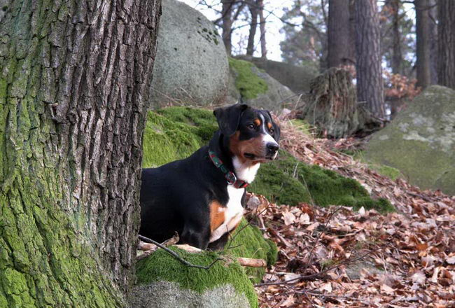 Энтлебухер зенненхунд (Entlebucher Cattle Dog)