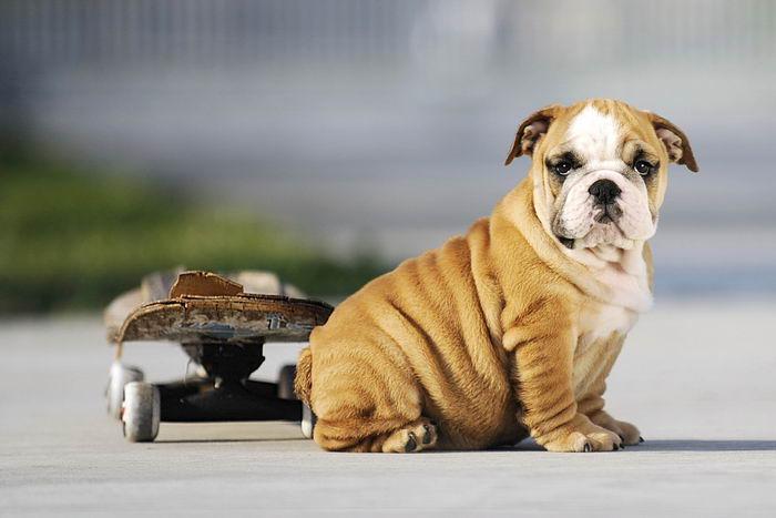 Американский питбультерьер питбуль фото собаки цена