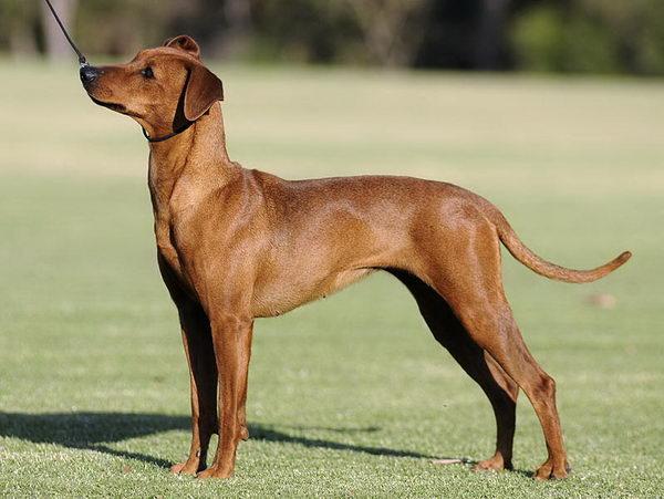 http://natureworld.ru/breeds_dog/german_pinscher_04.jpg