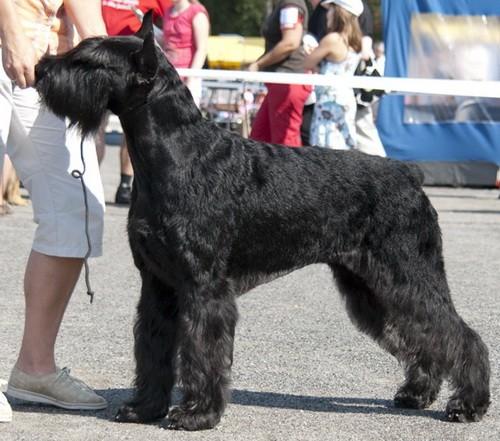 Его ближайшими родственниками являются пинчеры, молоссы и швейцарские пастушьи собаки.  0 комментариев.