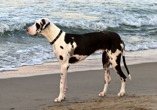 Немецкий дог (Great Dane)