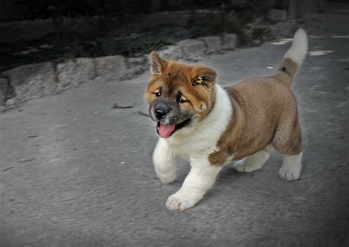 Большие породы собак список с фотографиями и описаниями