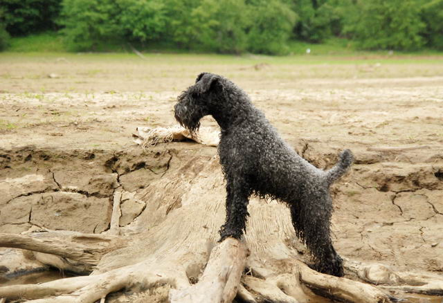 Керри-блю-терьер (Kerry Blue Terrier, Irish Blue Terrier, Kerry)