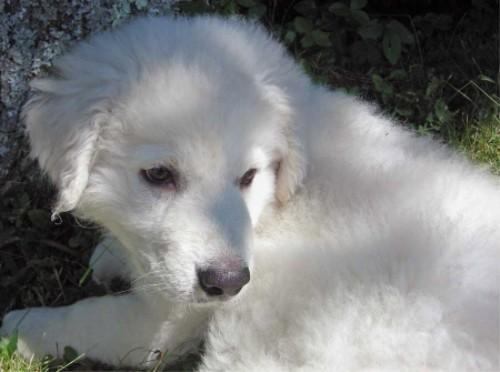 Кувас, Венгерский Кувас (Kuvasz) - щенок
