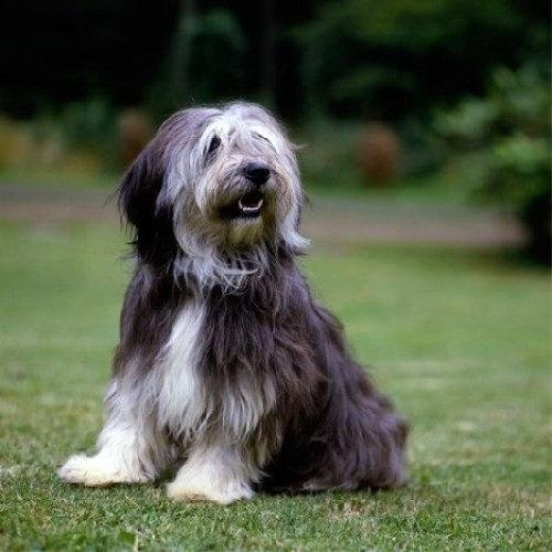 Польская низинная овчарка (Polish Lowland Sheepdog)