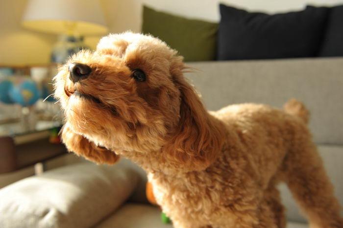 Пудель (Poodle)