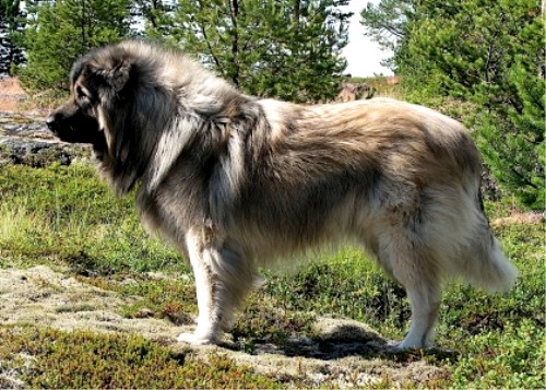 http://natureworld.ru/breeds_dog/sarplaninac_01.jpg