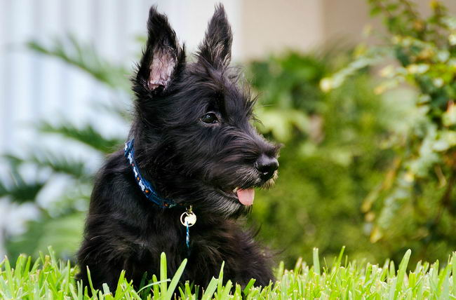 Scottish terrier haircuts