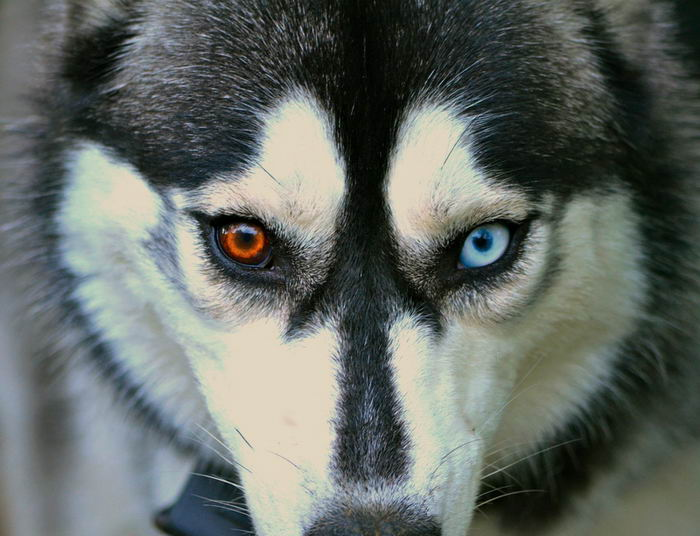 Husky black eyes