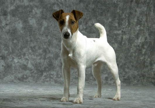 фокстерьеры фото собаки