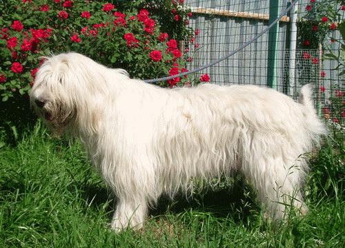 Суки - от 60 с и выше, вес - более 35...  Фотографии южнорусских овчарок.