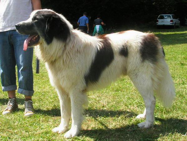 Торньяк (Bosnian Shepherd Dog)