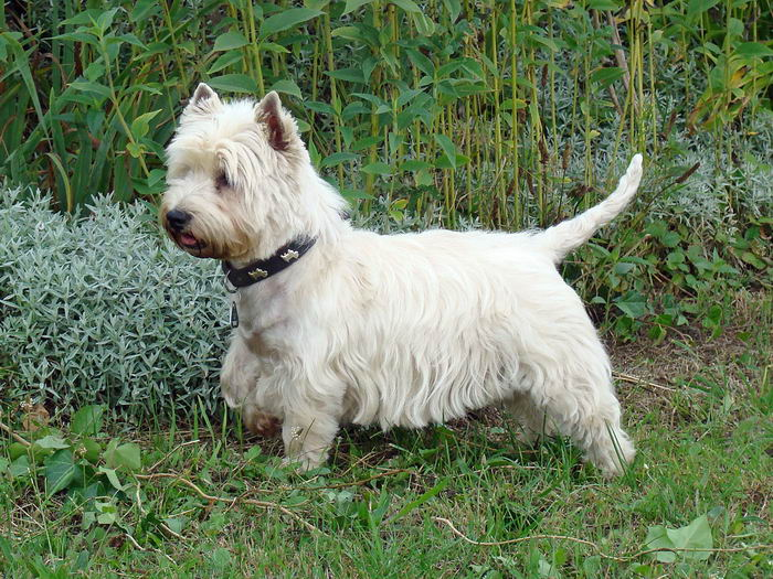 Вест хайленд уайт тер'єр (West Highland White Terrier)