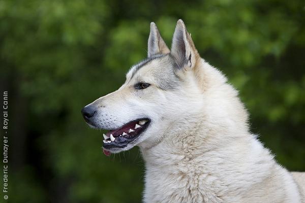 Западно-сибирская лайка (West-Siberian Laika) - Животные и ...