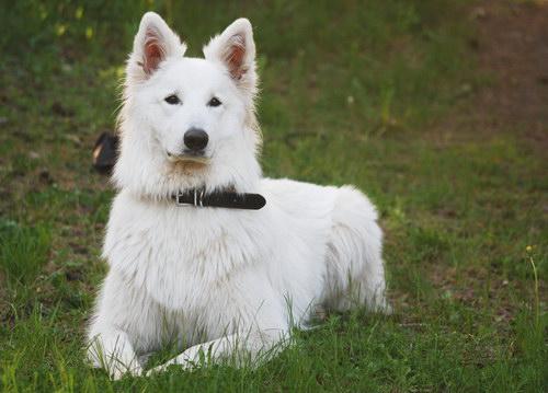 Немецкий пинчер описание породы собак фото и видео