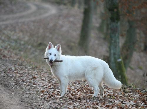 Белая швейцарская овчарка (15 фото)