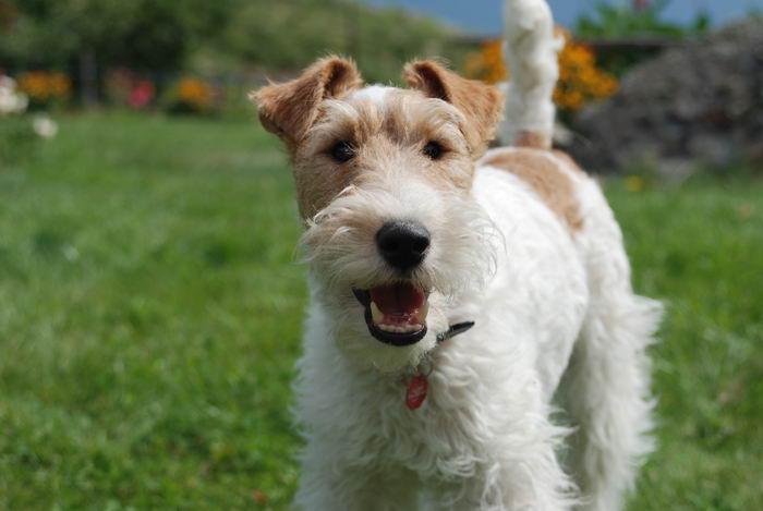 Фокстер'єр жесткошерстний (Wire Fox Terrier)