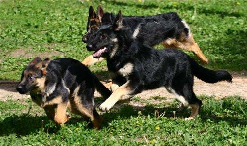 Бегающие как сумасшедшие собаки
