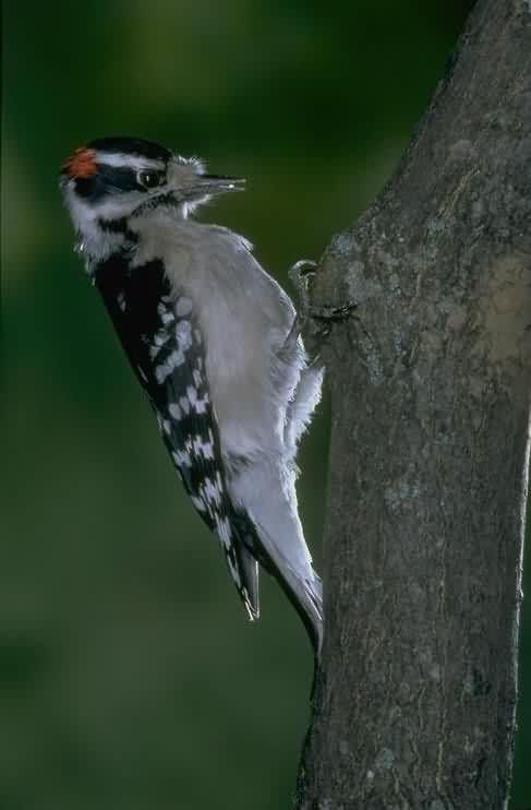 Птица дятел долбит клювом ствол дерева