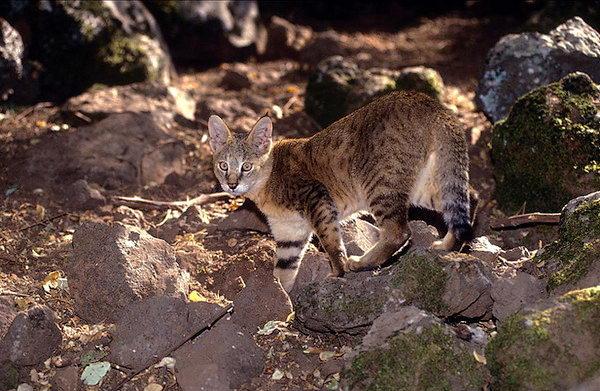 Камышовый кот, Хаус, или Болотная рысь  Felis_chaus_01