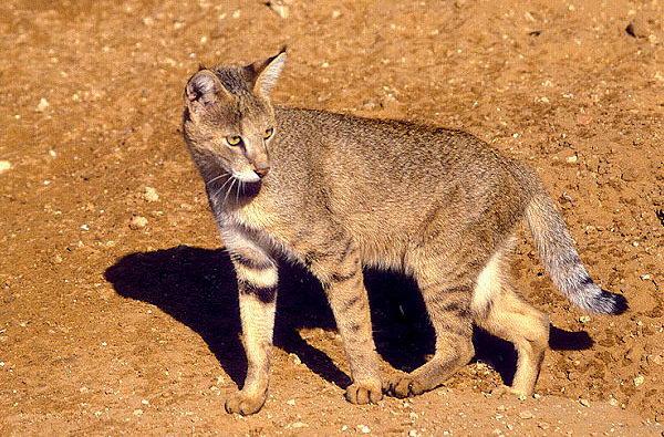 Камышовый кот, Хаус, или Болотная рысь  Felis_chaus_03
