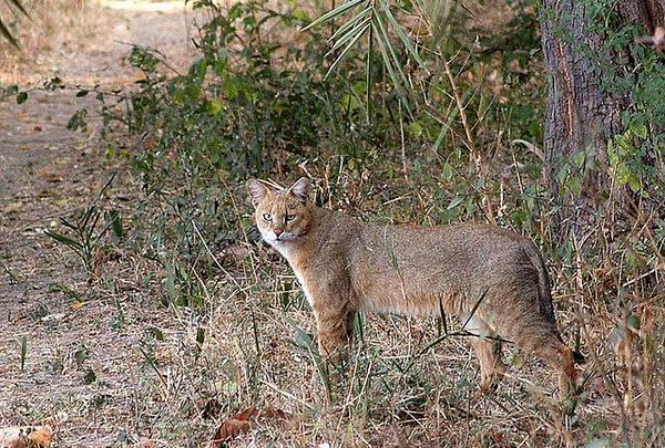 Камышовый кот, Хаус, или Болотная рысь  Felis_chaus_05