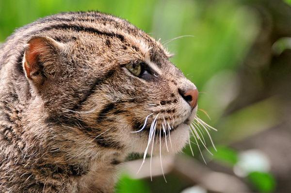 Кот рыболов, или виверровый кот (Prionailurus viverrinus) Vivercat_01