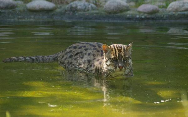 Кот рыболов, или виверровый кот (Prionailurus viverrinus) Vivercat_02