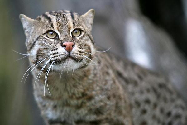 Кот рыболов, или виверровый кот (Prionailurus viverrinus) Vivercat_03