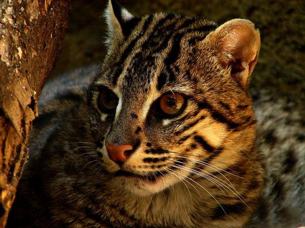Кот рыболов, или виверровый кот (Prionailurus viverrinus) Vivercat_04