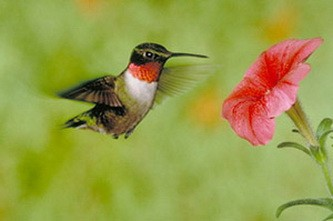 Рубиногорлый колибри и канадская казарка – путешествия птиц на птицах Birds_on_birds_02
