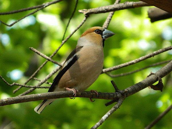 Птица Дубонос