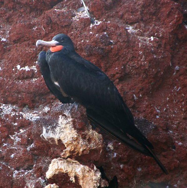Птицы фрегаты Fregata_aquila_01