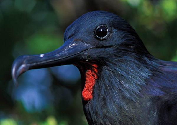 Птица Фрегат ариэль (Fregata ariel)