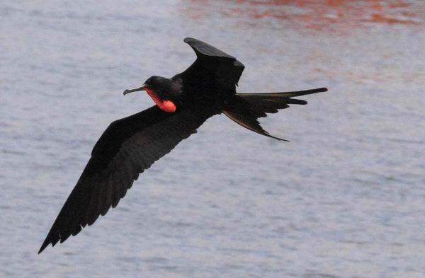 Птицы фрегаты Fregata_magnificens_02