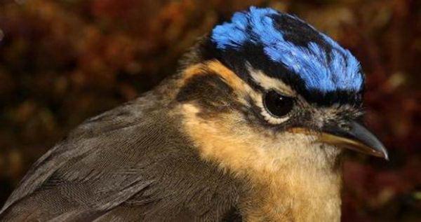 Ифрита ковальди (Ifrita kowaldi) – ядовитая птица Ifrita_kowaldi_01