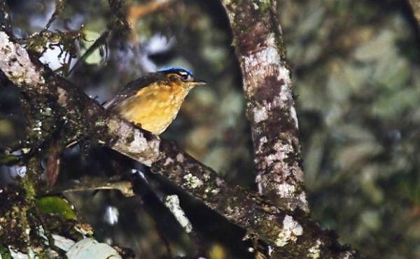 Ифрита ковальди (Ifrita kowaldi) – ядовитая птица Ifrita_kowaldi_04