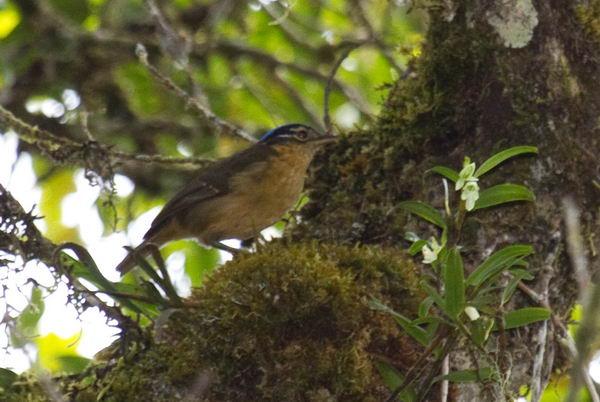 Ифрита ковальди (Ifrita kowaldi) – ядовитая птица Ifrita_kowaldi_07