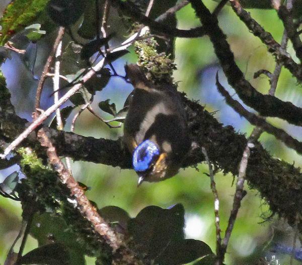 Ифрита ковальди (Ifrita kowaldi) – ядовитая птица Ifrita_kowaldi_09