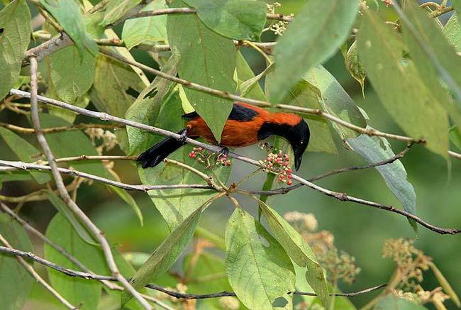 Питоху двуцветный, или дроздовая мухоловка (Pitohui dichrous)