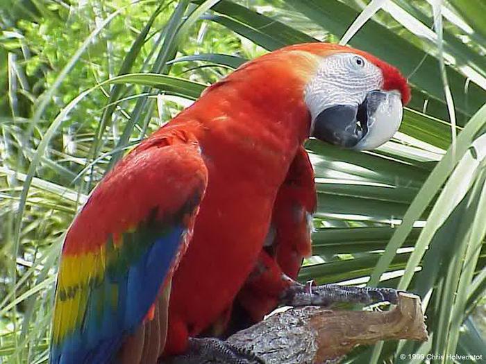 голоса птиц зяблик слушать