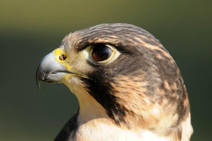 сапсан птица фото и описание