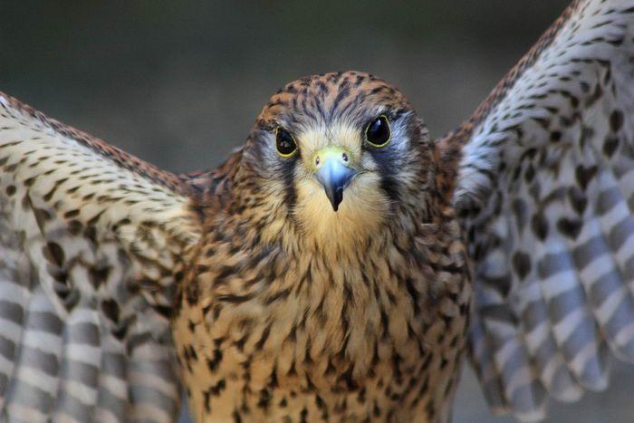 Сапсан (Falco peregrinus) – самая быстрая птица на планете Falco_peregrinus_02